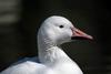 (European) Domestic Goose (Anser anser domesticus)