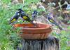 New holland honeyeaters 2