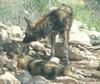 African dogs 3 - African wild dog (Lycaon pictus)