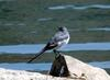 Black-backed Wagtail (Motacilla lugens)