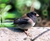 [Cropped] Dark-eyed Junco (Junco hyemalis)
