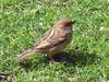 a HOUSE SPARROW (passer domesticus)
