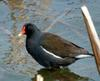 Gallinula chloropus (Common Moorhen)