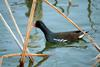 쇠물닭 Gallinula chloropus (Common Moorhen)