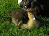 muscovy duck's chick