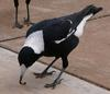 Australian magpie and worm 2