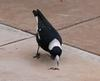 Australian magpie and worm 1