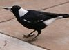 Australian magpie and worm 3