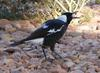 Australian magpie gets lunch