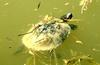 Red-eared Pond Slider (Trachemys scripta elegans)