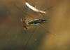 Paludum water strider (Aquarius paludum)