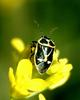 Northern Silk Stink Bug (Eurydema gebleri)