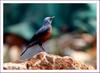 바다직박구리| 바다직박구리 Monticola solitarius (Blue Rock-Thrush)