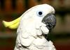 Cockatoo (a beautiful White one)