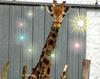 Giraffe (2 years' old)