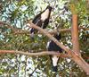 On dangerous ground (Birds - Australian magpies)