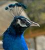 Mics critters - Indian Peacock (Pavo cristatus)