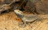Mics critters - Bearded Dragon (Pogona barbata)