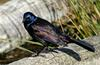 Mics critters - Common Grackle (Quiscalus quiscula)