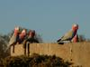 galahs at sunset 5/6