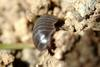 Porcellio scaber (Woodlouse)