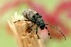 Moechotypa diphysis (Hairy Long-horned Toad Beetle)