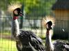 CROWNED-CRANES' DUO