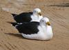 pigeon pair 2 -  - Pacific Gull (Larus pacificus)