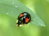 Chilocorus kuwanae (Red-spotted Black Lady Beetle)