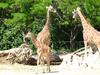 Giraffes with offspring