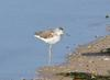 greenshanks 2 - common greenshank (Tringa nebularia)