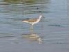 greenshanks 3 - common greenshank (Tringa nebularia)