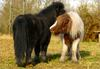 - HORSES / SHETLANDS' DUO -