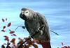 - PARROT (a Grey of Gabon) -