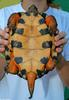 Wood Turtle (Clemmys insculpta) 0100