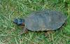 Wood Turtle (Clemmys insculpta) 0101