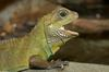 Asian Water Dragon (Physignathus cocincinus) 1024