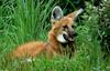 Expressions of a Maned Wolf - Maned Wolf (Chrysocyon brachyurus)0112
