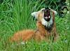 Expressions of a Maned Wolf - Maned Wolf (Chrysocyon brachyurus)0126