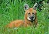 Expressions of a Maned Wolf - Maned Wolf (Chrysocyon brachyurus)0129b