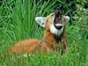 Expressions of a Maned Wolf - Maned Wolf (Chrysocyon brachyurus)0132