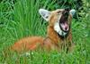 Expressions of a Maned Wolf - Maned Wolf (Chrysocyon brachyurus)0133