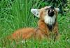 Expressions of a Maned Wolf - Maned Wolf (Chrysocyon brachyurus)0135