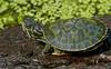 Northern Red-bellied Cooter (Pseudemys rubriventris)