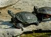 Turtles (Trachemys scripta spp.)