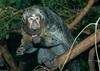 Female Pale-headed Saki (Pithecia pithecia)