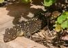 Sleepy shingleback lizard 1