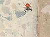unknown spider- Iraq