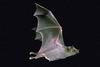 Mexican Long-nosed Bat (Leptonycteris nivalis)