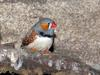 bird -- Zebra Finch